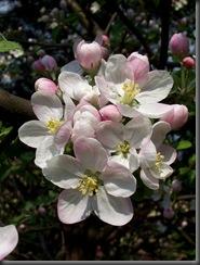Jabłoń 06